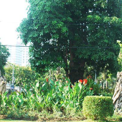 Sepasang Kamboja Tua di Depan Balai Kota