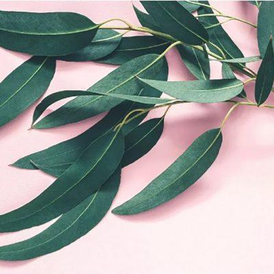 Mengenal Eucalyptus, Tanaman yang Dipercaya Bisa Menangkal Virus Corona